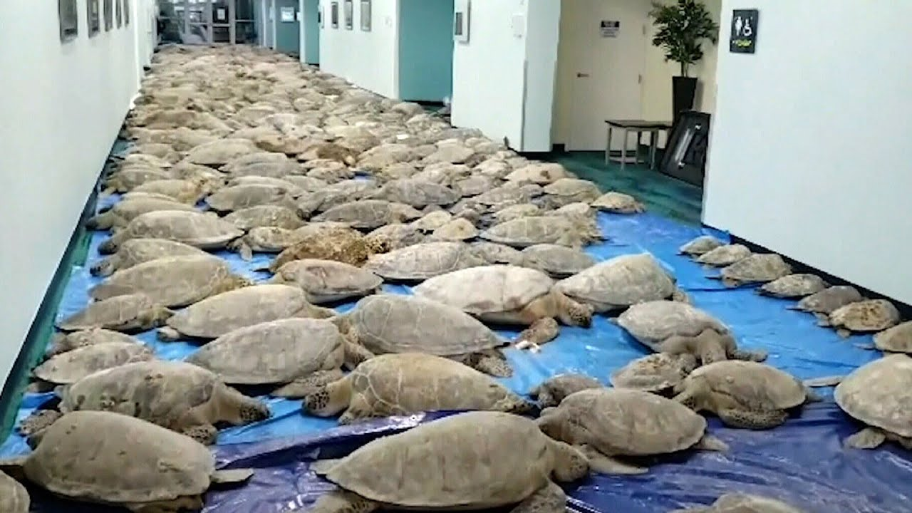 Race to save cold-stunned sea turtles from Texas coastlines 1