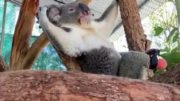 This koala receives prosthetic foot from... a dentist 5