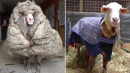 35 kg of fleece cut from sheep found roaming in Australia 3