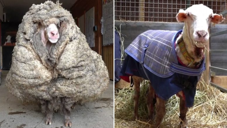 35 kg of fleece cut from sheep found roaming in Australia 1