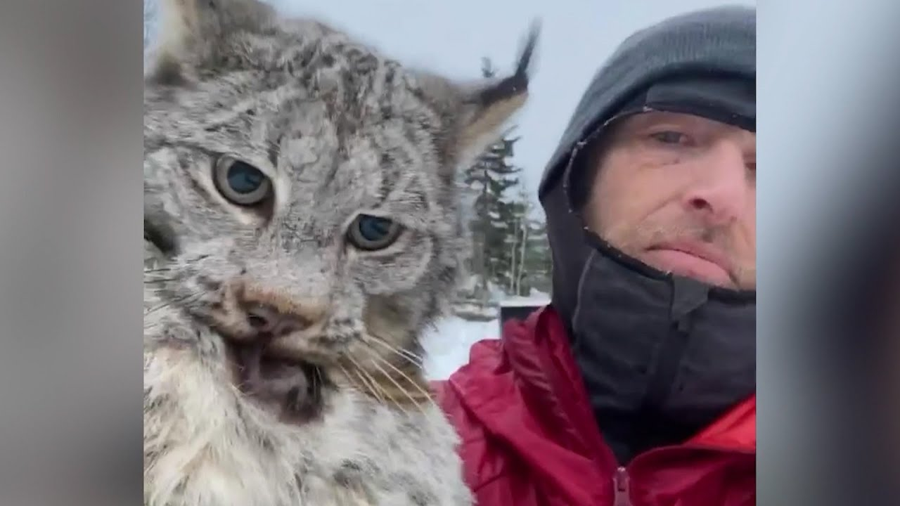 B.C. farmer lectures a lynx after it attacked his chicken coop 1