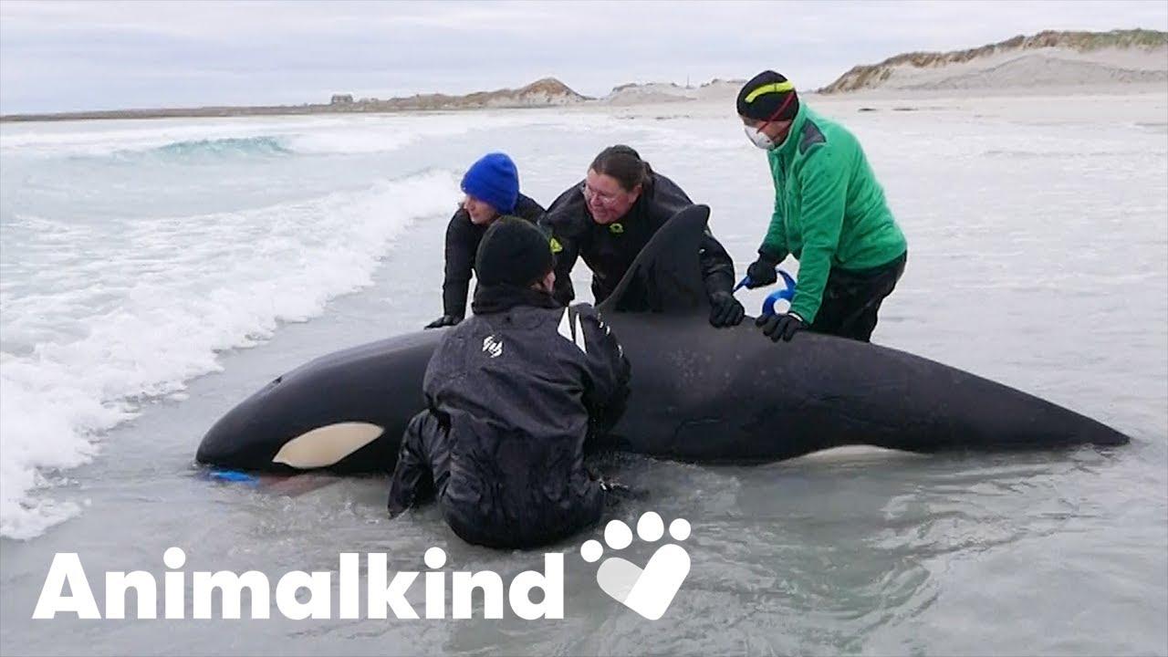 Stranded killer whale returned to sea | Animalkind 3
