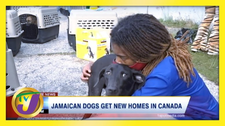 140 Jamaican Mongrel Dogs Get Canadian Residency | TVJ News - March 15 2021 1