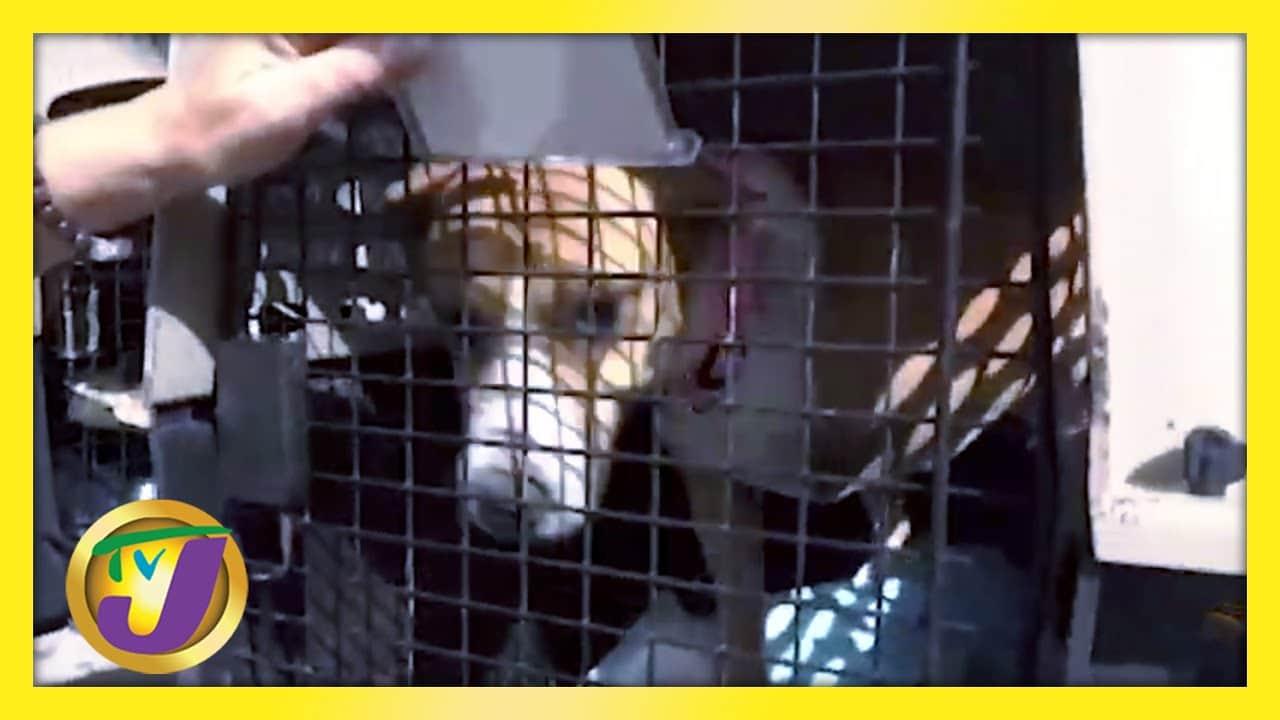 Jamaica Brown Terrier AKA Mongrel   TVJ News - March 19 2021 1