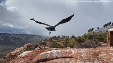 Condor's majestic flight into the wild 6