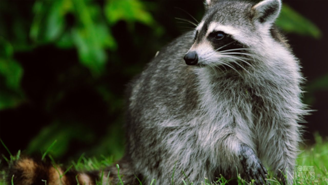 Raccoon attacks on the rise in Toronto 1