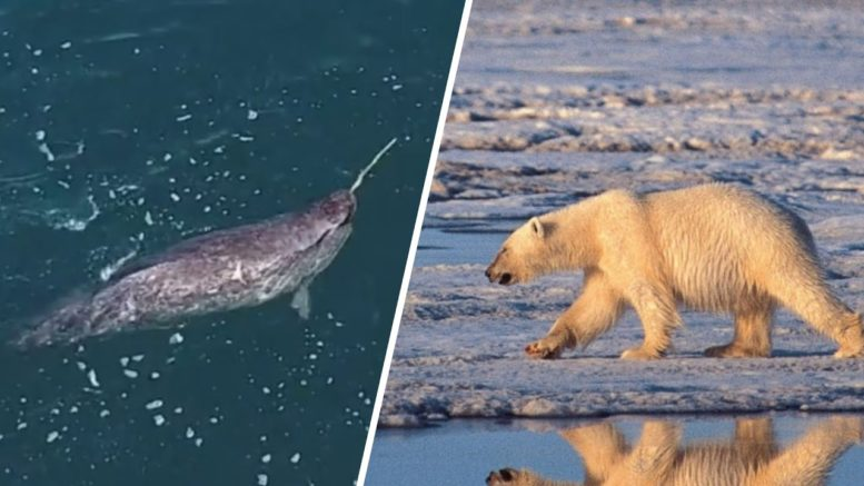 Polar bears and narwhals are dying as climate changes 1