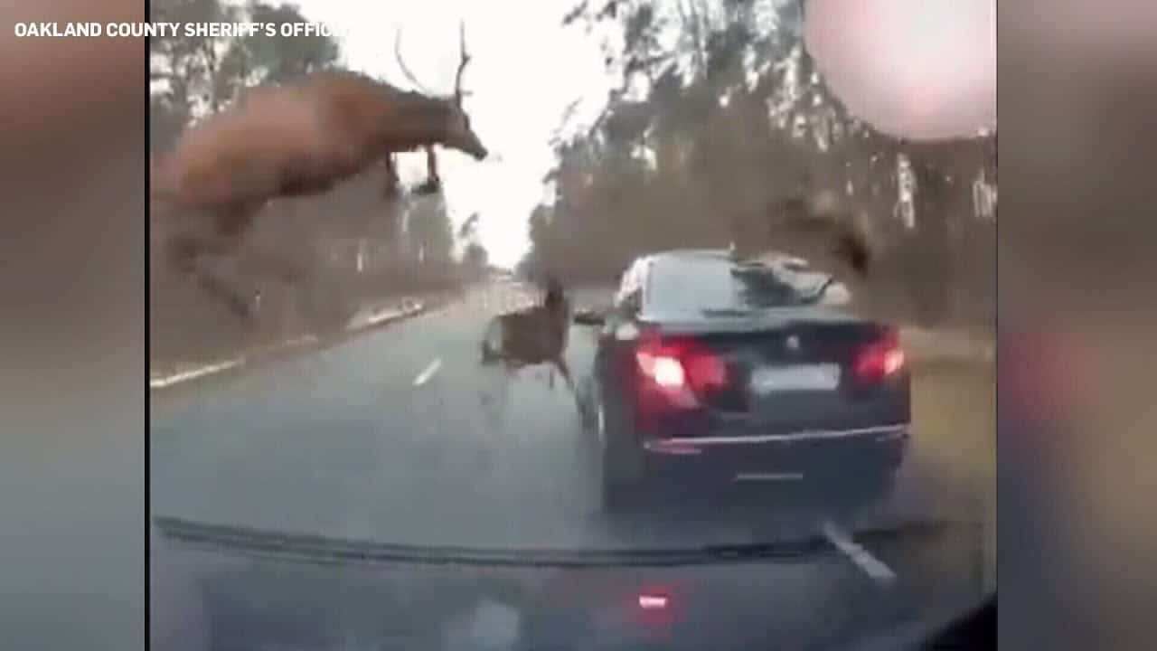 Herd of deer leaps over moving vehicle to avoid crash 1