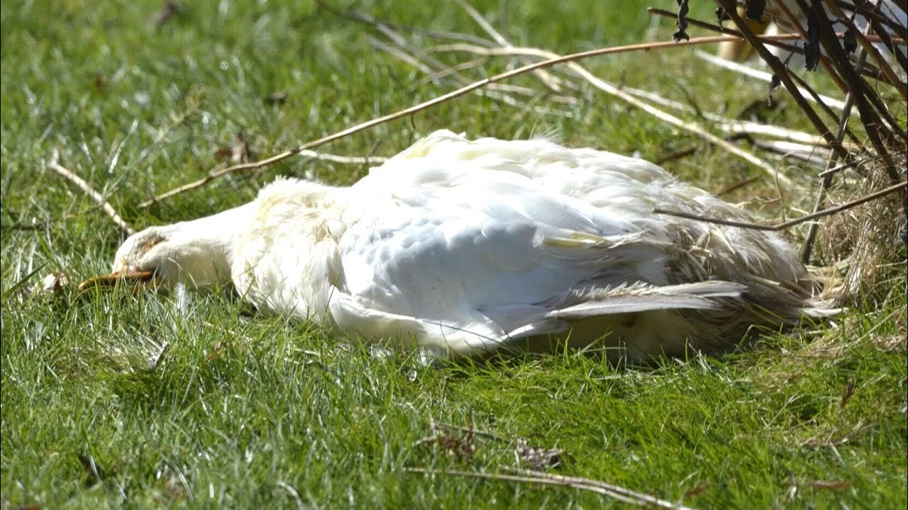 This duck in Saanich, B.C. earns millions of views for sleeping like it's dead 2