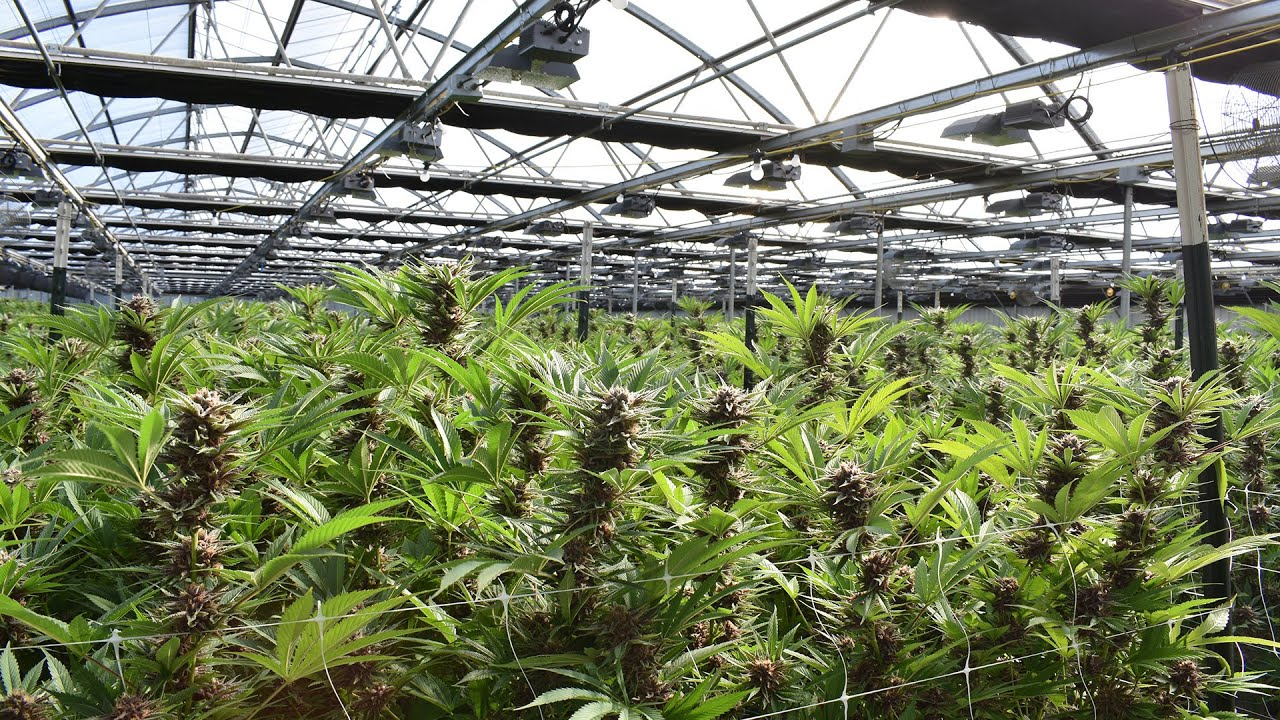 Cannabis production has a carbon footprint 10,000 times worse than crops like corn: study 1