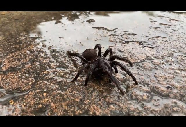 Torrential rain could bring deadly spiders to Sydney 1