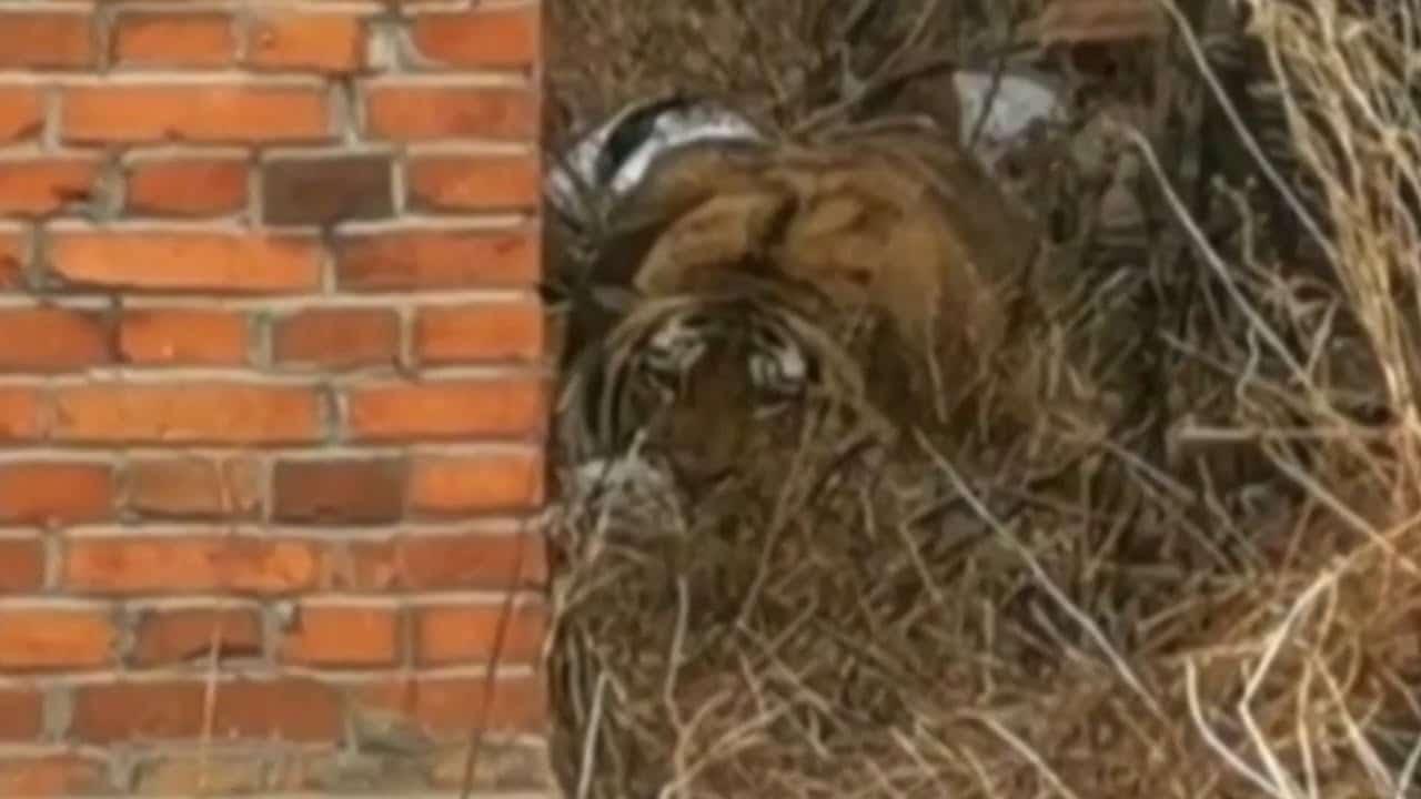 Siberian tiger attacks Chinese villager, damages car 1