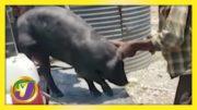 Pig Farmer vs SCJ   TVJ News - April 23 2021 5