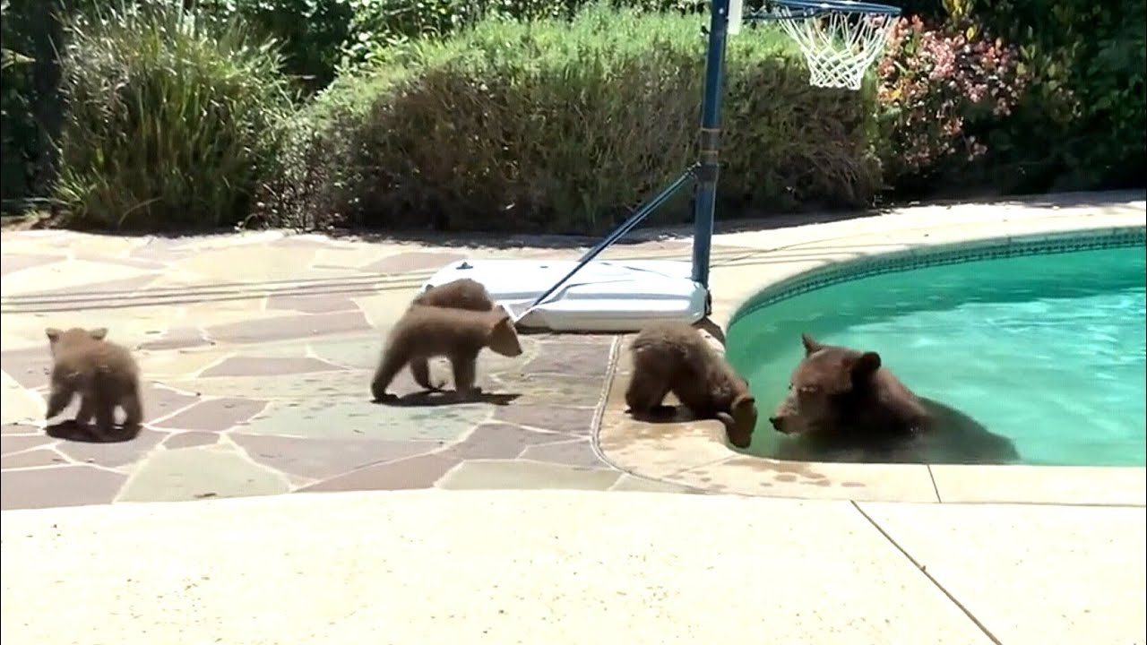 Mama bear takes dip in backyard pool as cubs watch 1
