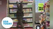 'Godzilla' lizard takes over a 7-Eleven | USA TODAY 3
