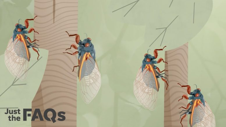 Here's what to know about the billions of cicadas Brood X that will soon be emerging | Just the FAQs 1