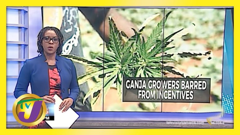 Some Jamaican Ganja Growers Barred from Production Incentives | TVJ Business Day - April 13 2021 1