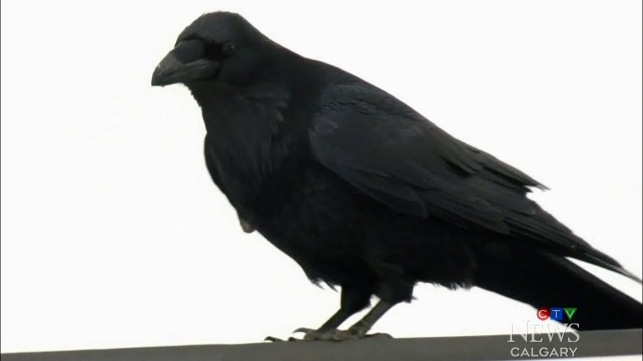 Has the COVID-19 pandemic changed the behaviour of ravens? 1