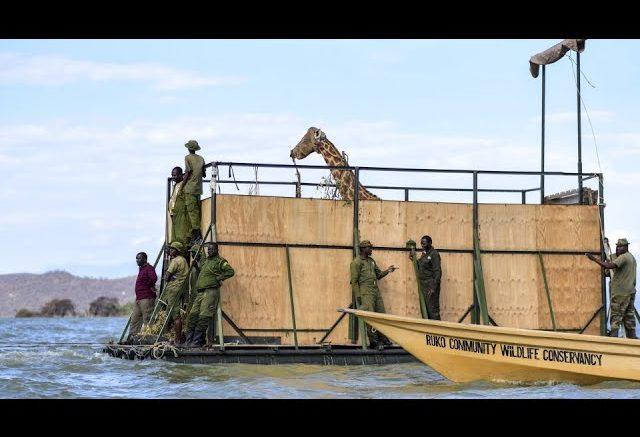 A months-long operation saved nine endangered giraffes from a shrinking Kenyan island 1