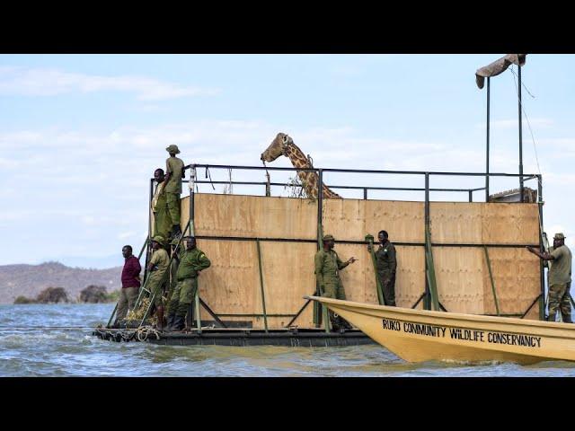A months-long operation saved nine endangered giraffes from a shrinking Kenyan island 6