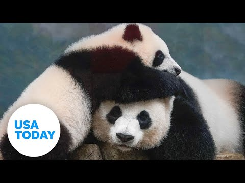 First peek at the new giant panda cub at the Smithsonian National Zoo in Washington | USA TODAY 4