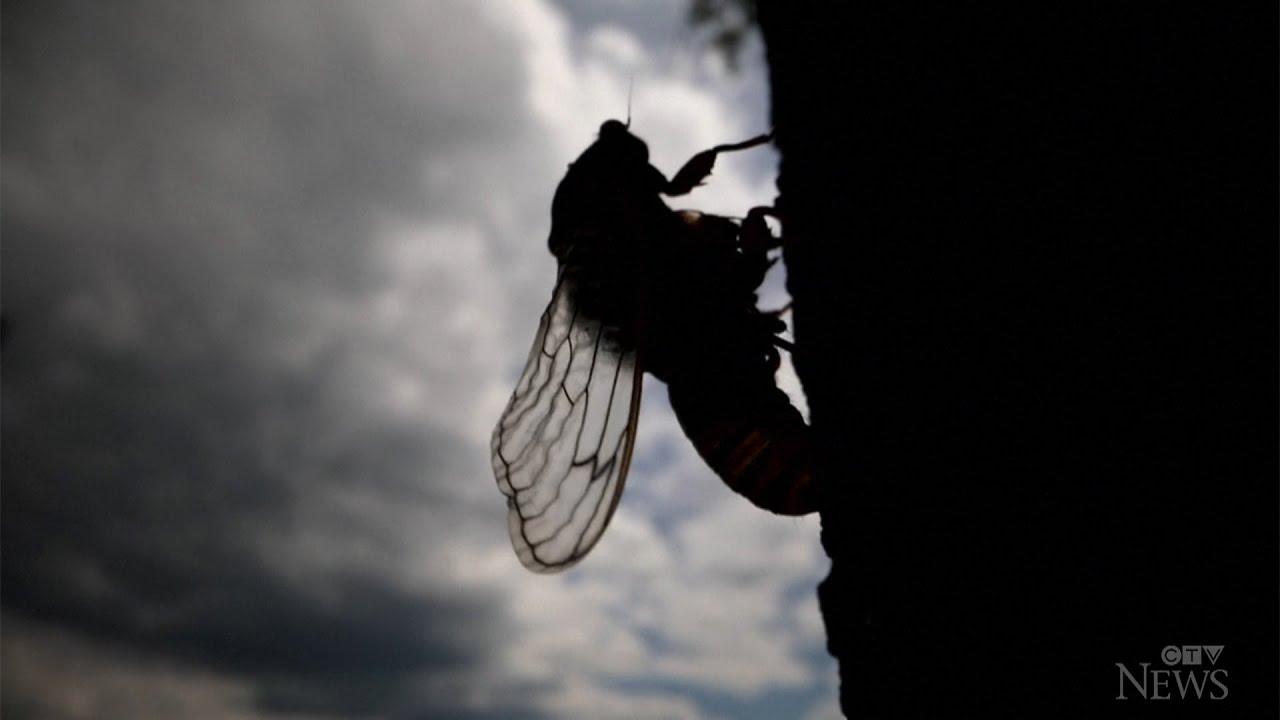 Billions of cicadas to emerge in 15 U.S. states 5