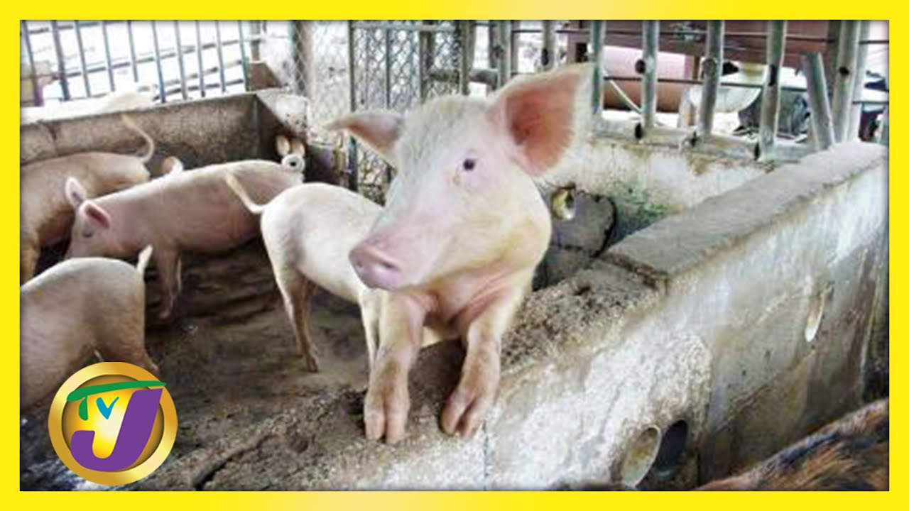 Jamaicans to Brace for Pork Price Increase | TVJ News - May 20 2021 1