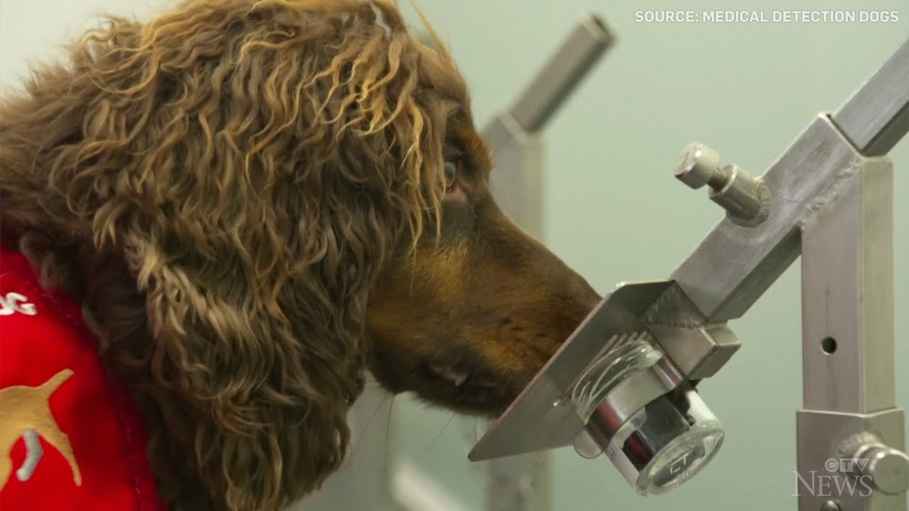 British study suggests dogs can sniff out COVID-19 1