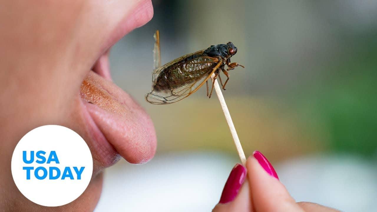Curious palates dig into cicada as Brood X emerges on East Coast | USA TODAY 1