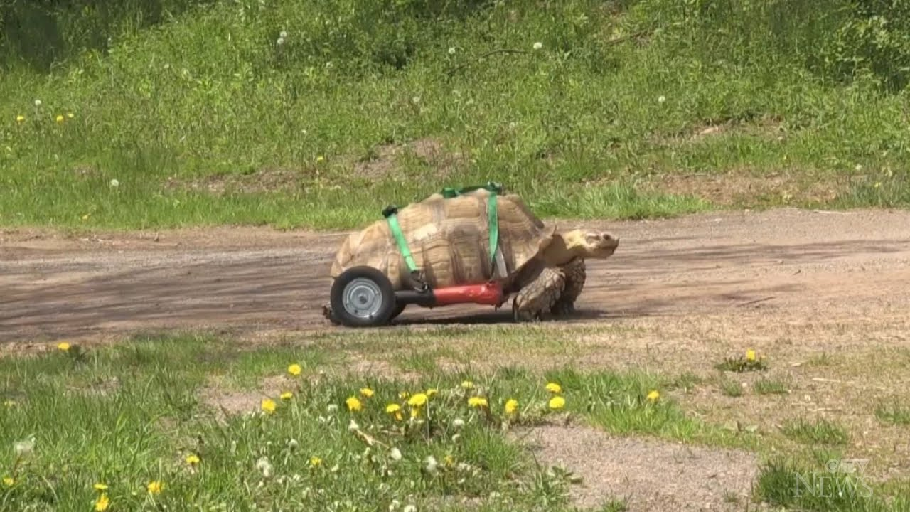 Moncton tortoise ready to roll with custom wheelchair 1