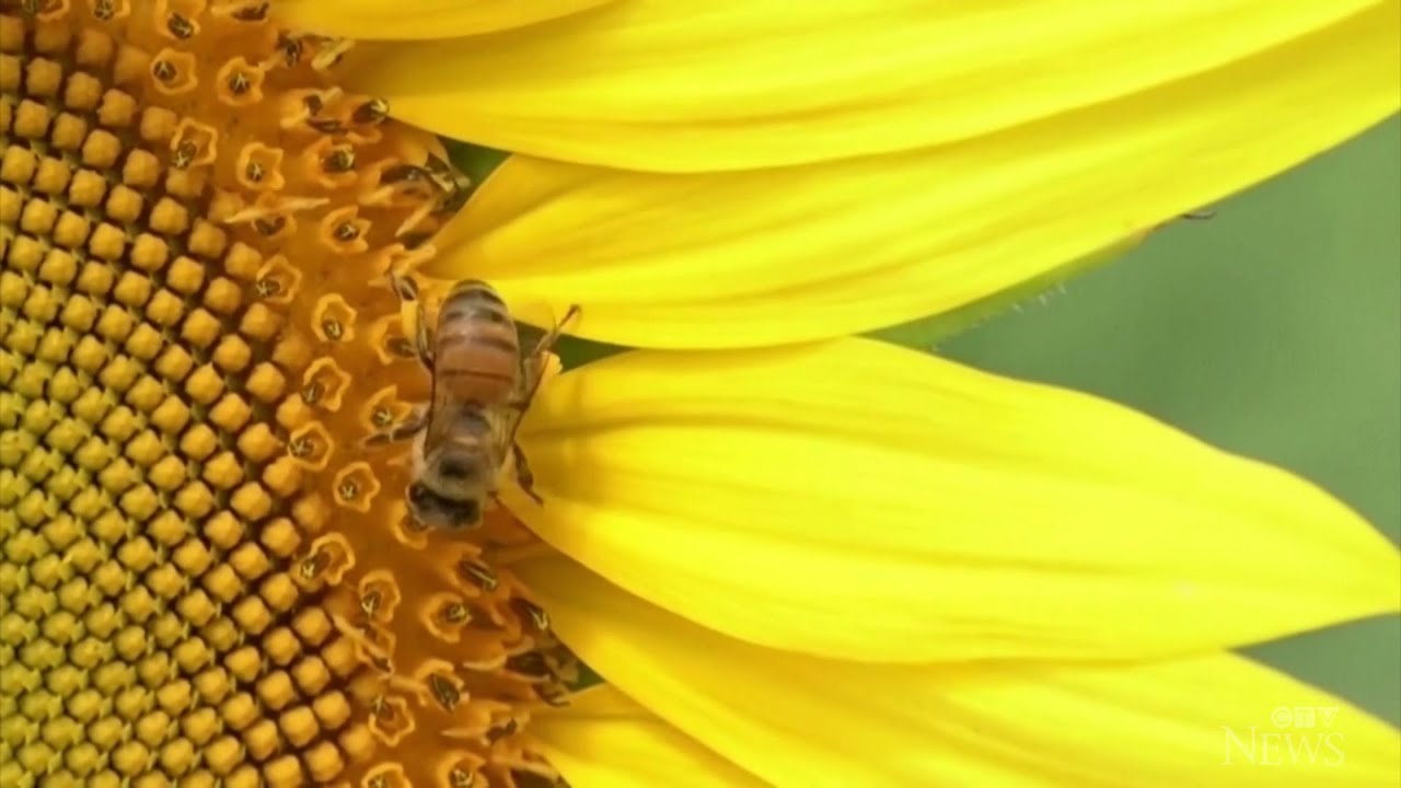 Researchers train bees to detect COVD-19 1