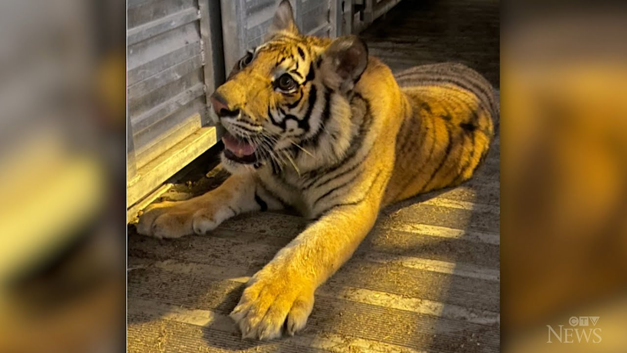 Tiger found after missing for nearly a week in Houston 1