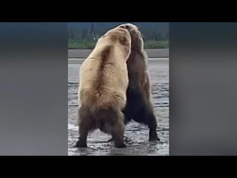 Two massive bears fight as hikers in Alaska watch #shorts 1
