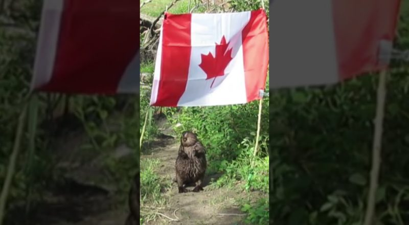 Only in Canada? Beaver takes down Canadian flag, eats the flagpole #shorts 1