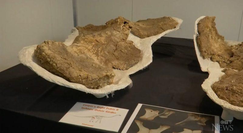 Australia's largest dinosaur was 'an amazingly huge animal' 2