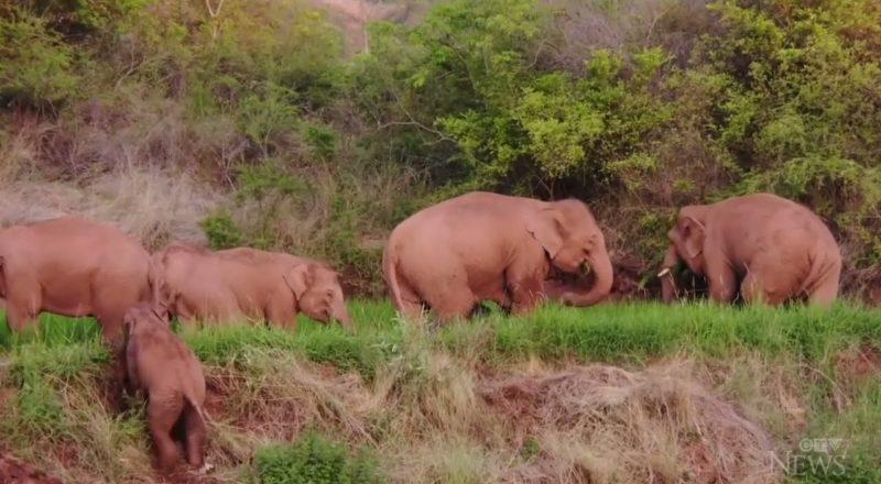 Wandering Asian elephants take break after 15-month journey 1