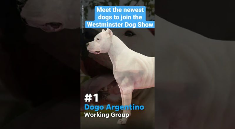 Which dog are you most excited to see at the Westminster Dog Show this year? #WKCDogShow 1