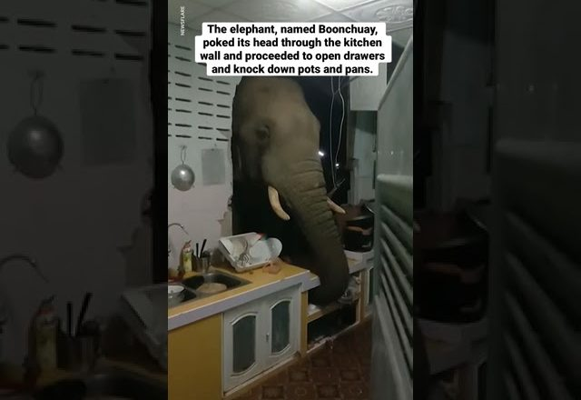 A woman in Thailand heard loud noises in her kitchen. She found an elephant looking for food. 1