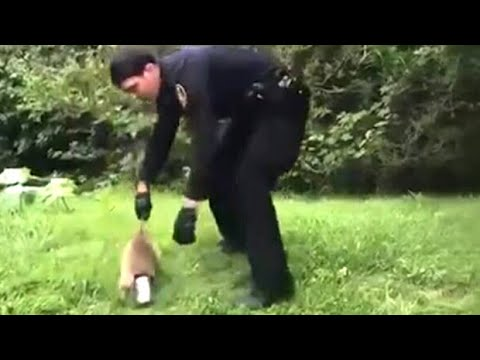 Officer makes many attempts to rescue raccoon stuck in tin can 2