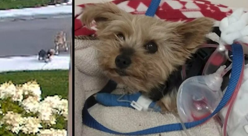 Watch this tiny terrier save her 10-year-old owner from an aggressive coyote 1