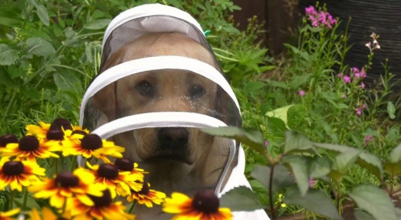 Meet the yellow Labrador with a passion for beekeeping 1