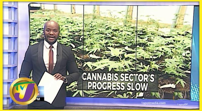 Very Slow Progress in The Ganja Industry in Jamaica | TVJ News - July 12 2021 1