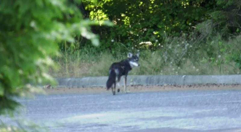 2-year-old attacked by coyote in Vancouver's Stanley Park 1