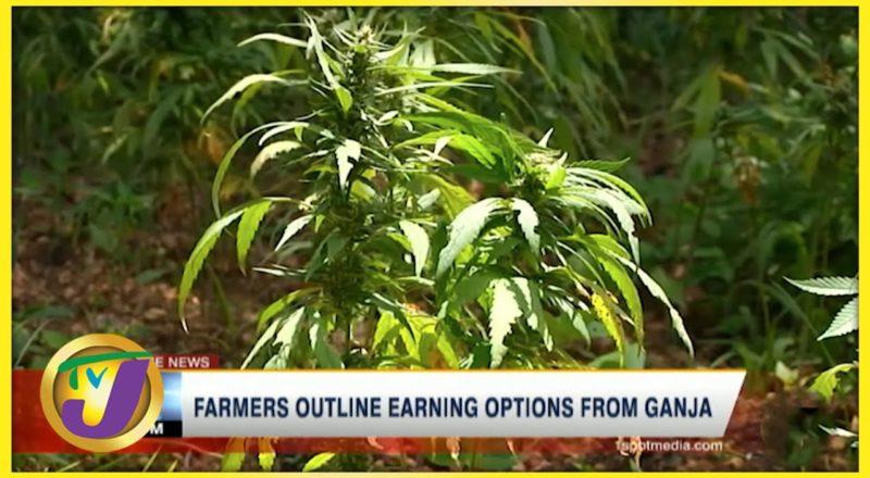Jamaican Farmer Outline Earning Options from Ganja   TVJ News - July 13 2021 1