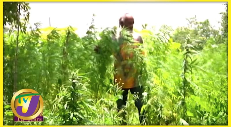 Jamaica's Cannabis Industry | TVJ All Angles - July 14 2021 1