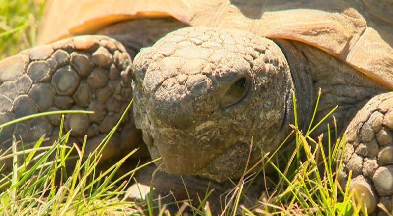 Iconic Nova Scotia tortoise 'Gus' celebrates 99th birthday 1