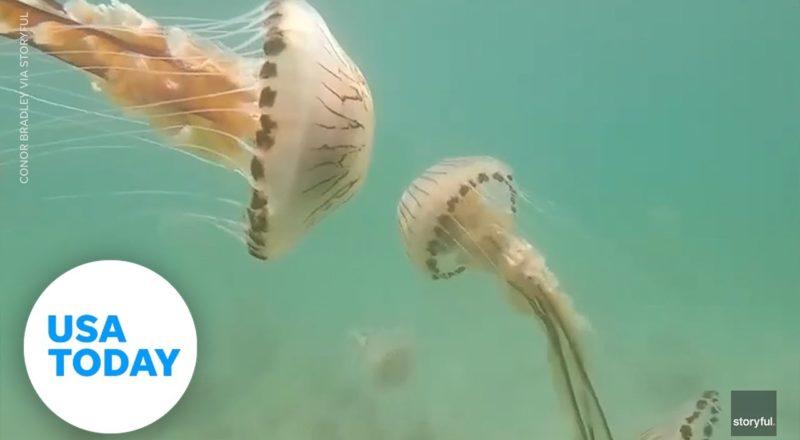 Jellyfish swarm a teacher off the coast of Ireland | USA TODAY 1