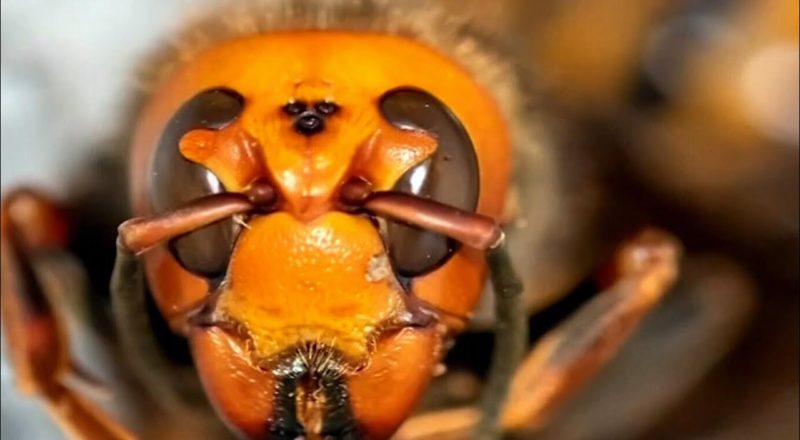 Murder hornets are an example of 'nature doing its worst' | Dan Riskin on new sightings near Canada 1