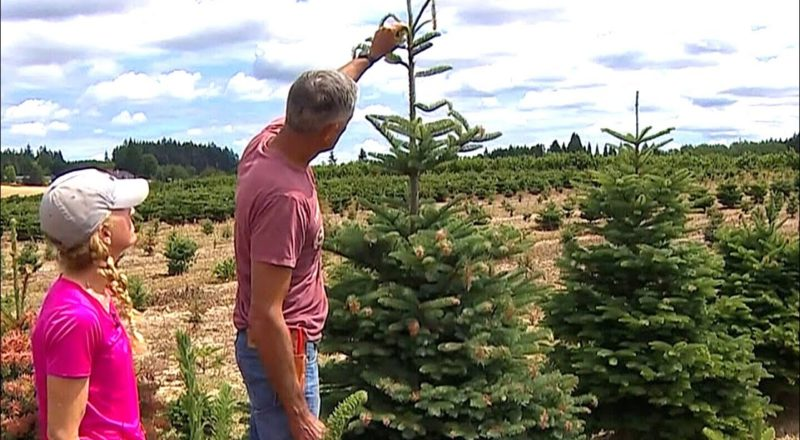Invasive insect species could threaten Christmas tree crops 1
