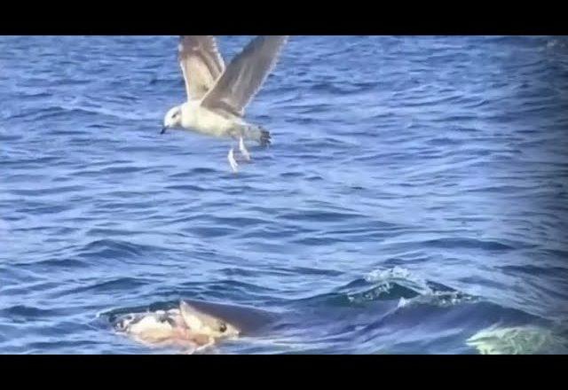 Shark seen feeding in waters near Cape Breton coast 1